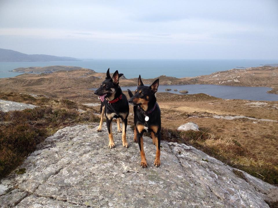 Devonairs kelpies relaxing in Scotland.