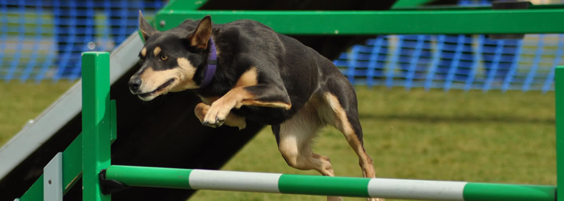 Devonairs kelpies in agility