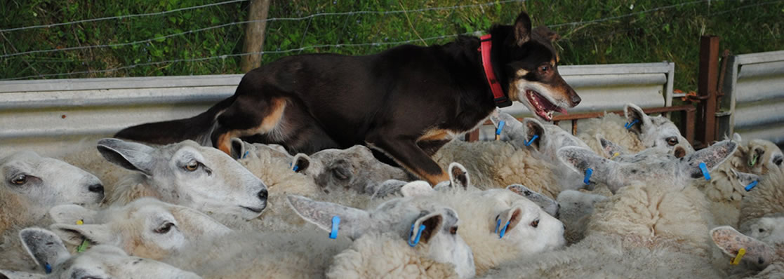 Devonairs kelpies in herding work